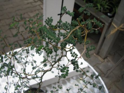 "Sophora japonica ""little baby"""