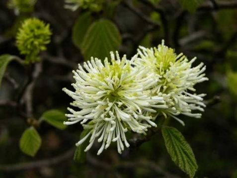 Fothergilla major - fotergila