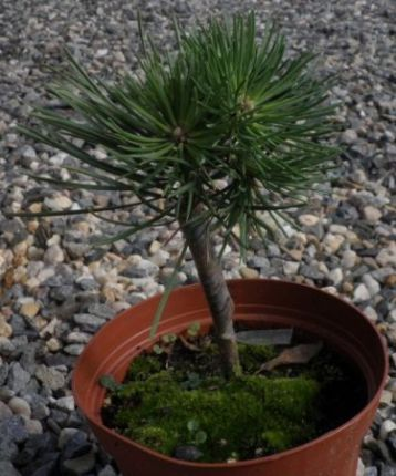 "Pinus sylvestris ""hillside creep"""
