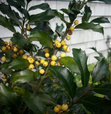 "Ilex meserveae ""golden girl"""