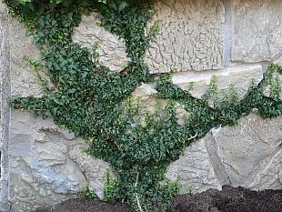 "Hedera helix ""spetchley"""